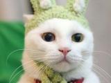 披著兔皮的貓。。