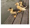 不要踩到鴨子