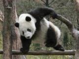 真正的功夫熊貓