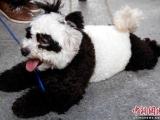 主人應該很想養熊貓......
