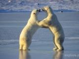 大愛的北極熊