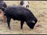 「髒」小豬更健康?