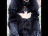 蝙蝠俠的寵物熊