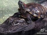 霸氣的烏龜