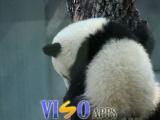 超可愛的熊貓!!! (7圖)