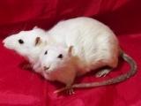 研究:老鼠也有惻隱心