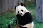 熊貓一生中感到最傷心的事