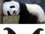 普通熊貓,文藝熊貓和二逼熊貓