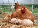 小雞:喂~老媽。。我才是你的孩子叻。。。
