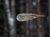 飛行中的貓頭鷹