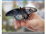極罕陰陽蝶 生殖器雌雄各半
