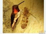 「史前巨蟻」跟蜂鳥一樣大!!!!!