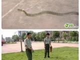 遛狗就看過,但遛蛇就......