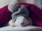 小老鼠也冬眠!