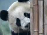 [轉貼]研究:雌雄大熊貓偏好不同棲息地
