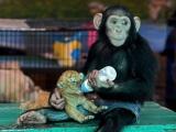 猩猩餵小老虎喝奶