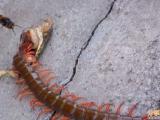 超大隻的蜈蚣