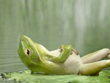 一只青蛙吃多了躺著休息