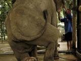 踩中地雷的大象