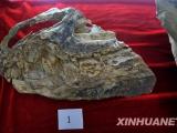 世界迄今為止最早的霸王龍化石在遼寧出土[組圖]