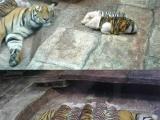 第二部: 嚴重懷疑老虎的智商啊,這麼簡單的潛伏都沒識破