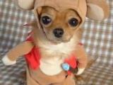 小狗也穿衣!