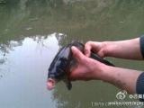 這是一只千年吐槽魚