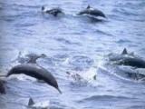 2004年10月30日,新西蘭。一群海豚逐漸圍成一圈將圍許多遊泳者起來,當這個圈圈變的牢固以後,它們在水中激起水花,看到這樣的攻擊行為人們才發現,原來一群鯊魚正在靠近這些遊泳者,海豚發起抵抗保護了他們。這些海豚用它們畫圈圈的方法,保護著人類。