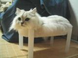 貓貓睡在桌子上