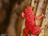 草莓蛙是不是很可愛呢