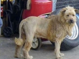 他是我家的狗,又是獅子