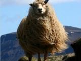 我是山羊王!