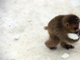 小猴子偷雪