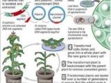 基改玉米抗害蟲 害蟲反將一軍