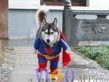 超牛狗! 小狗超人 來將壞人剷除!