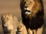 一隻獅子和一個瓶子的故事