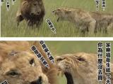 真正的萬獸之王不是獅子,是母獅子!