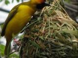 研究發現鳥類需要學習才會築巢
