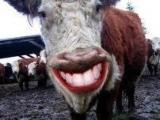 牛開口笑了?