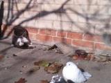 懶貓,難怪鴿子和你一樣胖! Lazy cat.