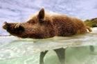 好豬命! 北美洲「最幸福野豬」每日吃熱狗、喝啤酒