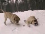 爆笑滑雪 拉布拉多狗