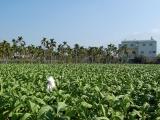 馬拉威童工菸田工作 等於每天吸菸50支