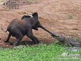 好可憐....  大象這個時候怎麼辦?