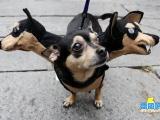 我是三頭狗怕不怕