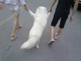 狗是這樣遛的嗎 . . . . . 「主銀!勞資再也不跟你們一起逛街了!!」by