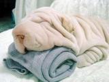 我是毛巾小狗!! :)