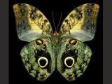 世上八大最奇特的蝴蝶