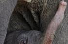 泰國小象洪災中出生 泥濘中歡樂度童年