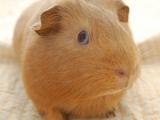 可愛天竺鼠